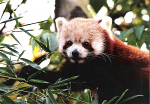 GDZ Postkarte 2013 - Kleiner Panda