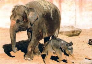 Asiatischer Elefant - Postkarte 2014 (Foto: Christian Wagner, Hannover)