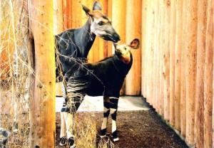 GDZ Postkarte 2015 Okapi