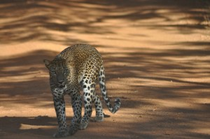 2016-zdj-sri-lanka-leopard